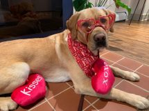 service dog dressed up for valentines day