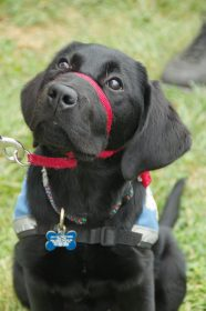 Lab Service Dog