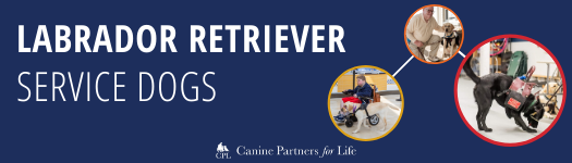 Labrador Service Dogs