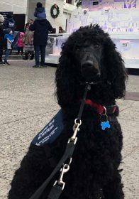 Poodle Service Dog